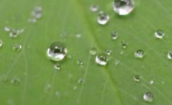 白山命水の水滴が滴る葉っぱ